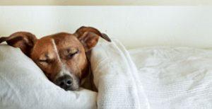 Pes v postelji